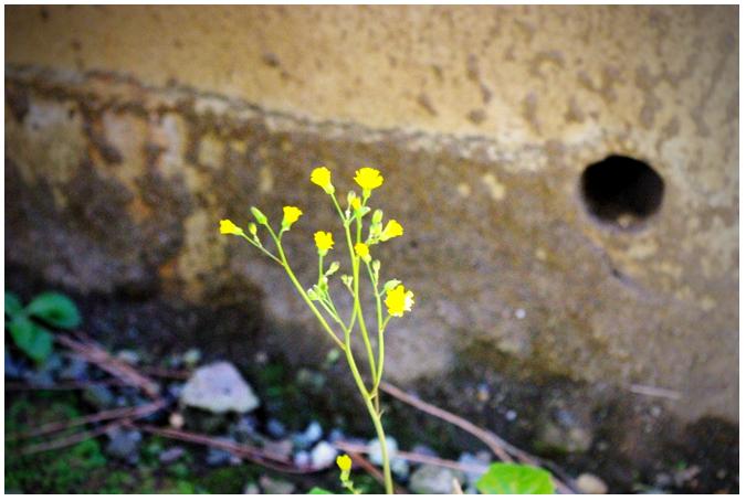 黄色の春.jpg